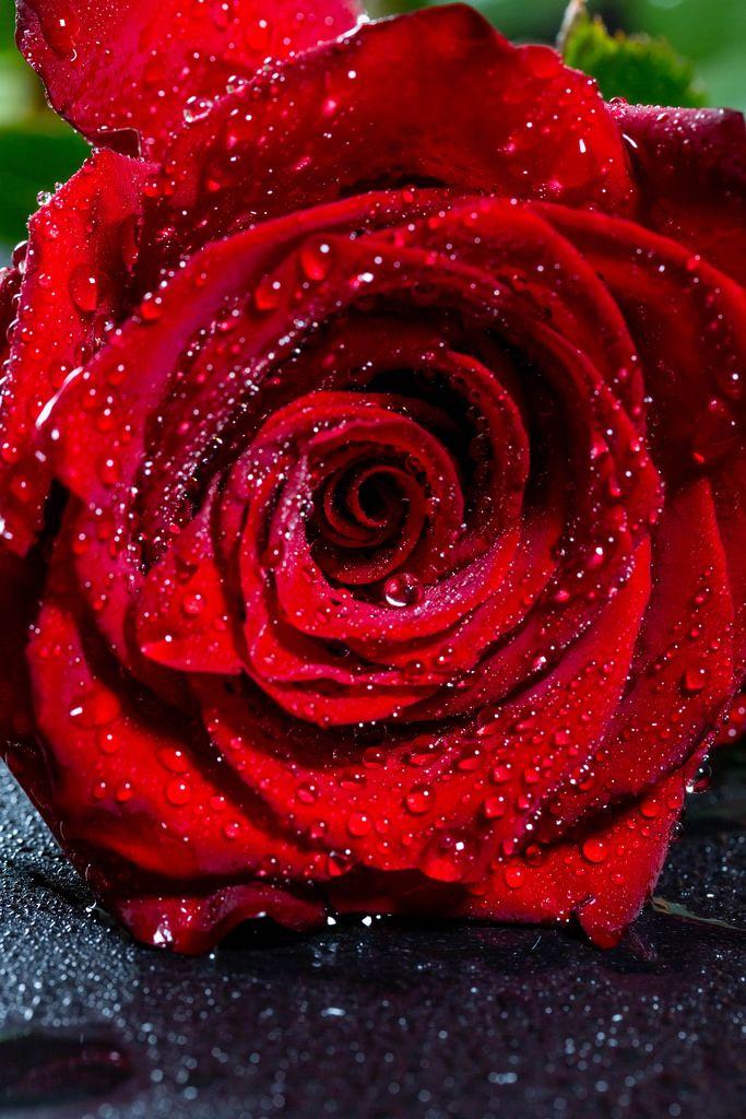 Dew drops on red rose petals