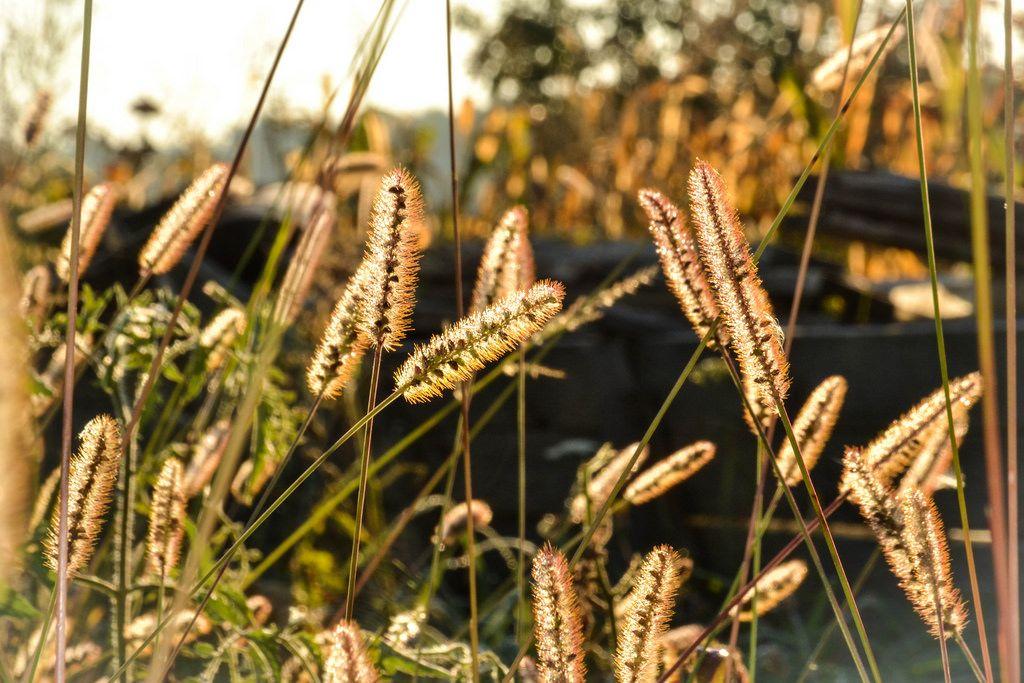 Die Sonne scheint durch die Ähren von Grashalmen