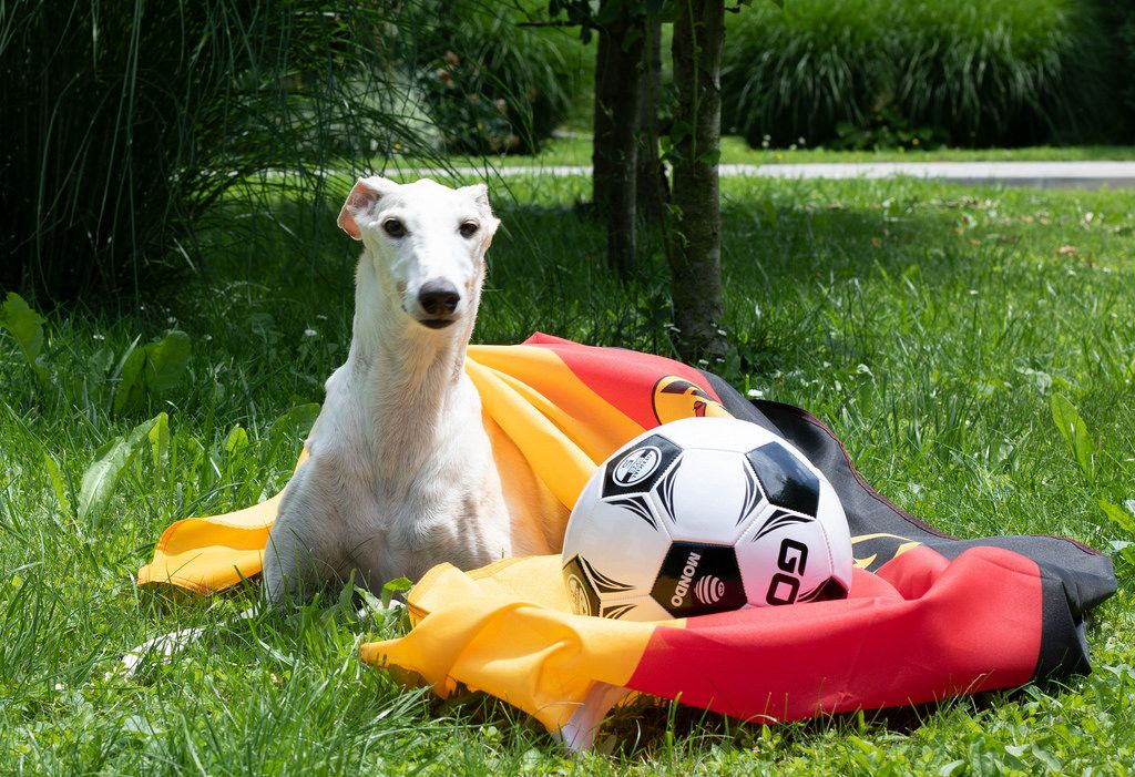 Dog layin on the grass covered with German flag