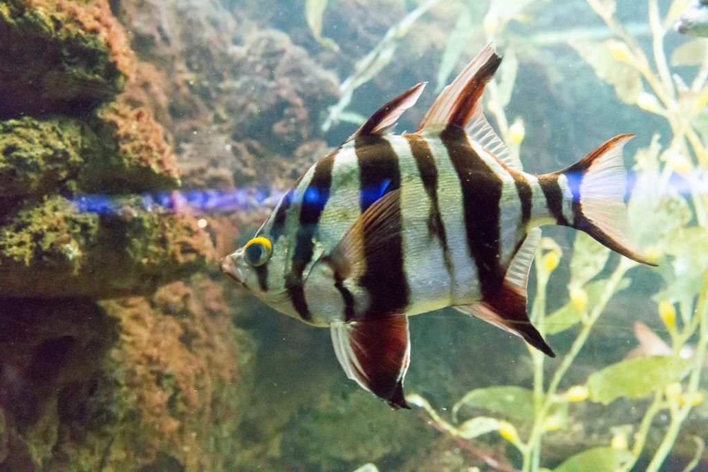 Doppel-Rückenflosser (Enoplosus armatus) im Shedd Aquarium