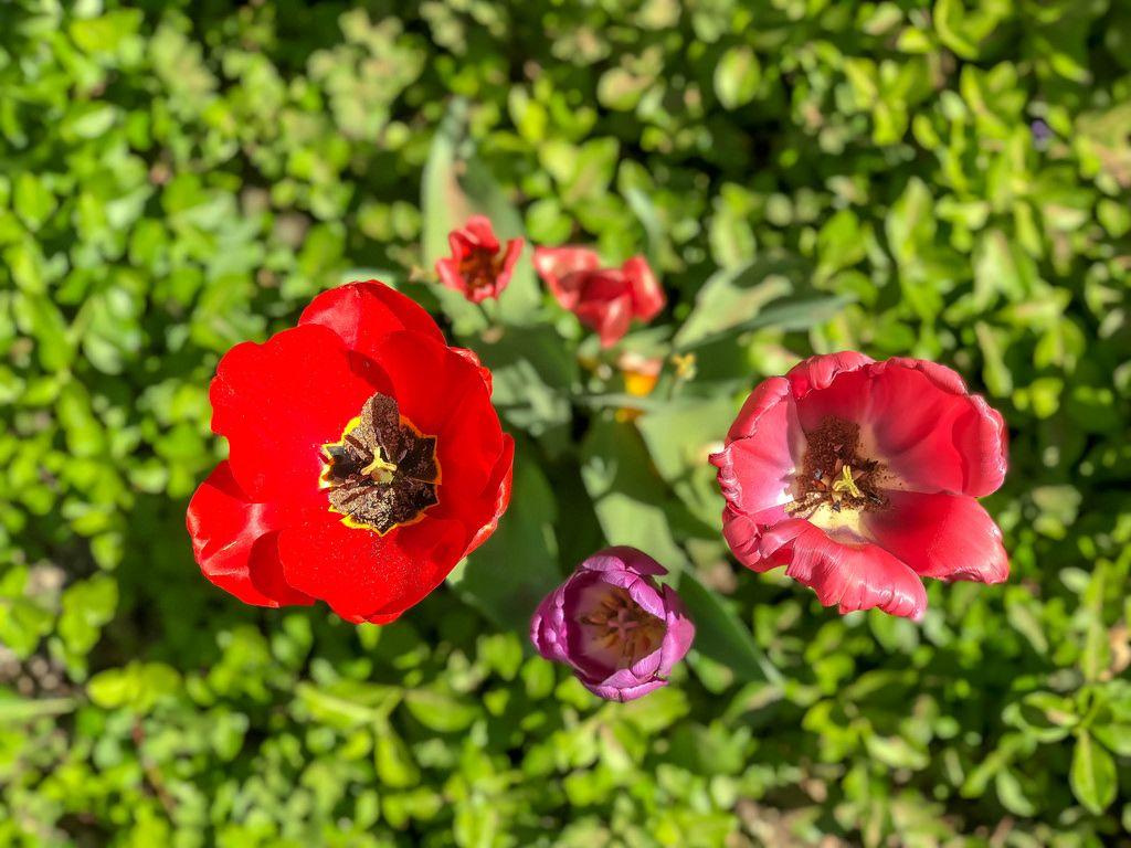Draufsicht von Tulpen verschiedener Farben