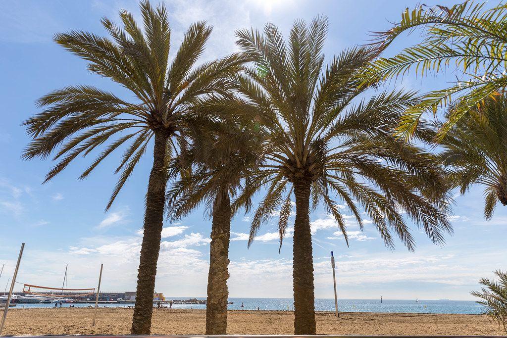 Drei Palmen am Strand Platja del Somorrostro neben der Universitat Pompeu Fabra Campus del Mar und vor der Mittelmeerküste Barcelonas, Spanien