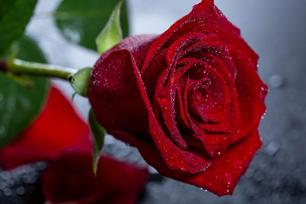 drops of water on a beautiful rose