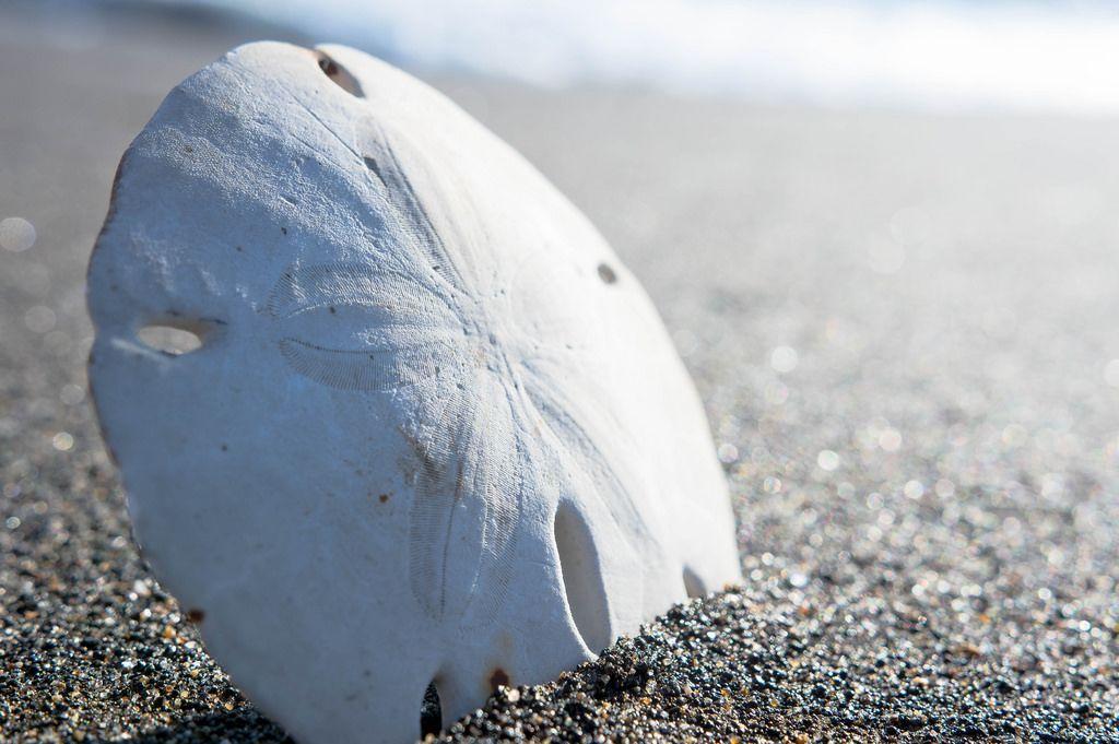 Dry sand dollar on the beach