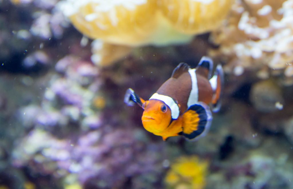 Echter Clownfisch (Amphiprion percula) - Shedd Aquarium, Chicago