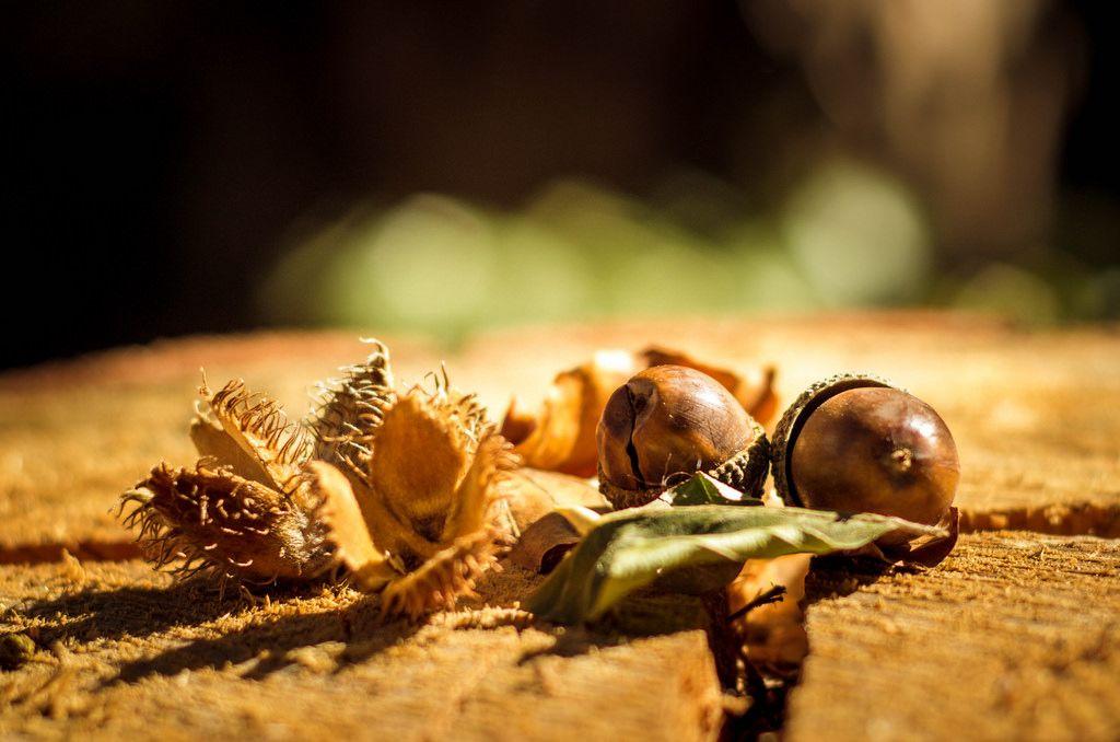 Eicheln und Bucheckern auf Baumstamm