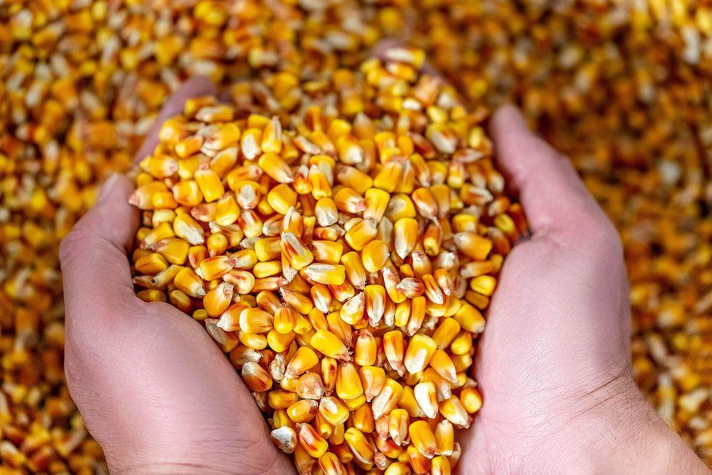Ein Landwirt hält die Herbsternte Mais in den Händen