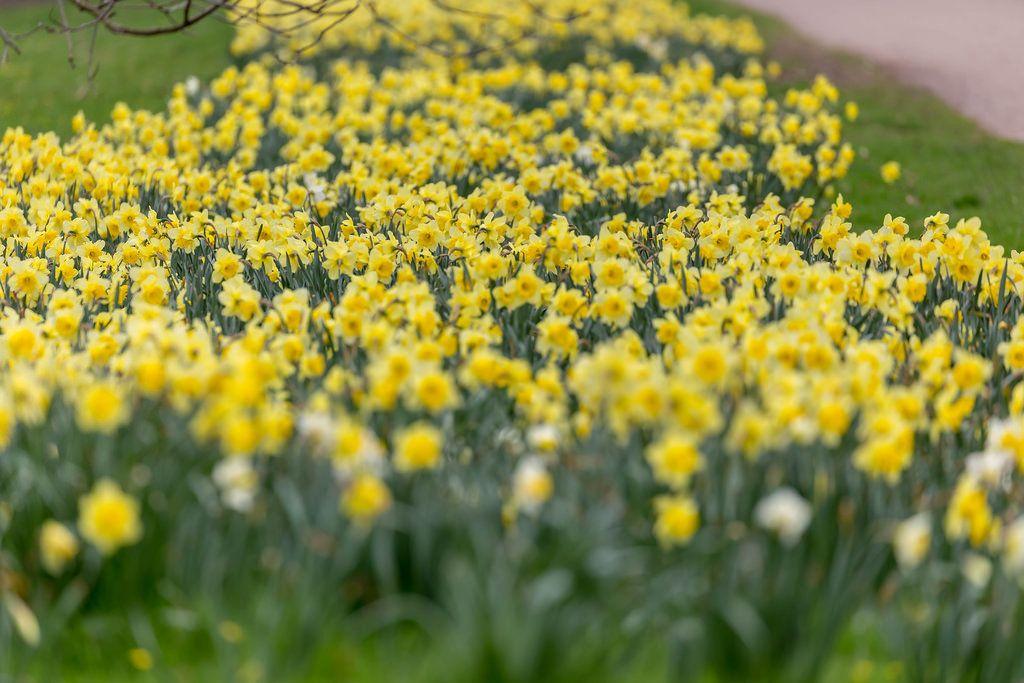 Ein Meer von gelben Narzissen im Park. Verschwommener Vordergrund und Hintergrund