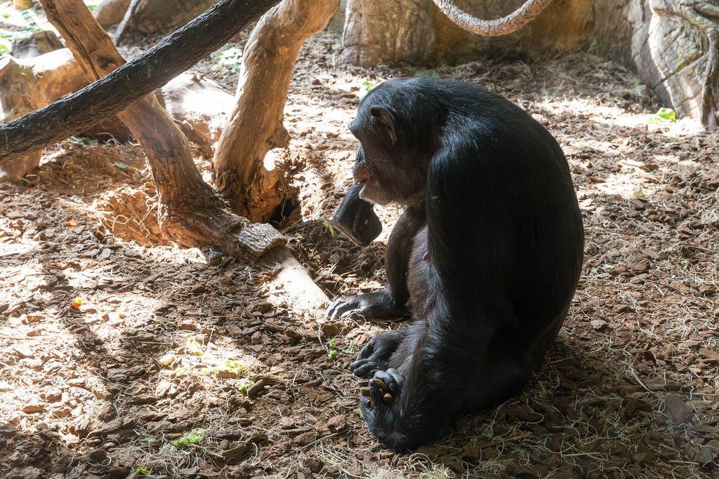 Ein Schimpanse im Lincoln Park Zoo in Chicago