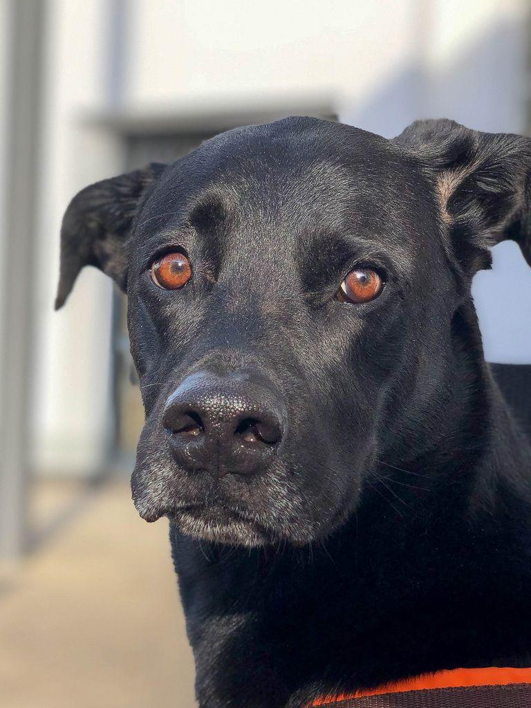Ein schwarzer Labrador mit umgeknicktem Ohr schaut fragend in die Kamera