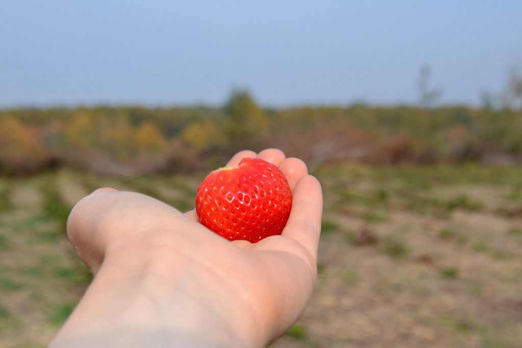 Eine Frau hält eine frisch gepflückte Erdbeere in der Hand