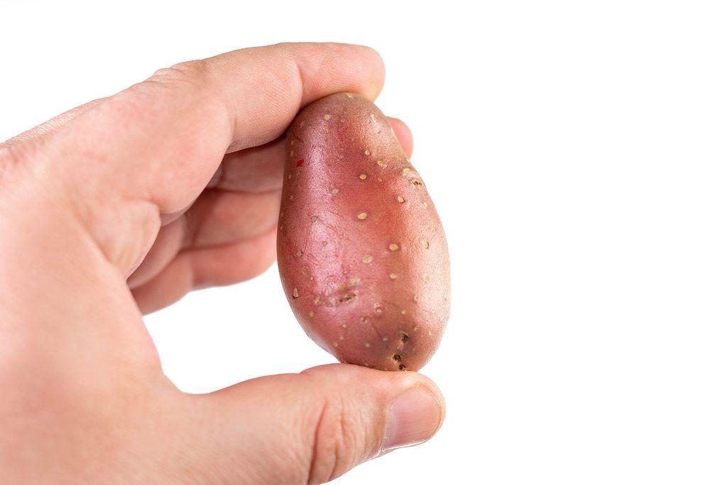 Eine rote Kartoffel wird in der Hand gehalten, isoliert vor weißem Hintergrund