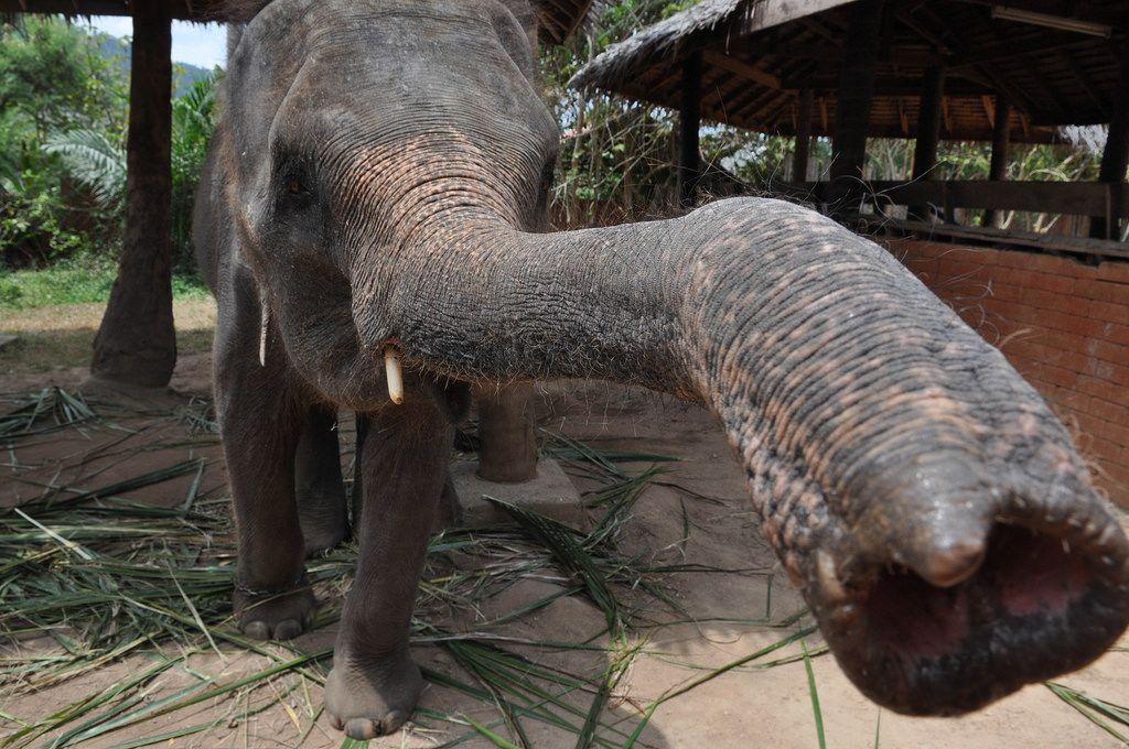 Elefant russel nach oben