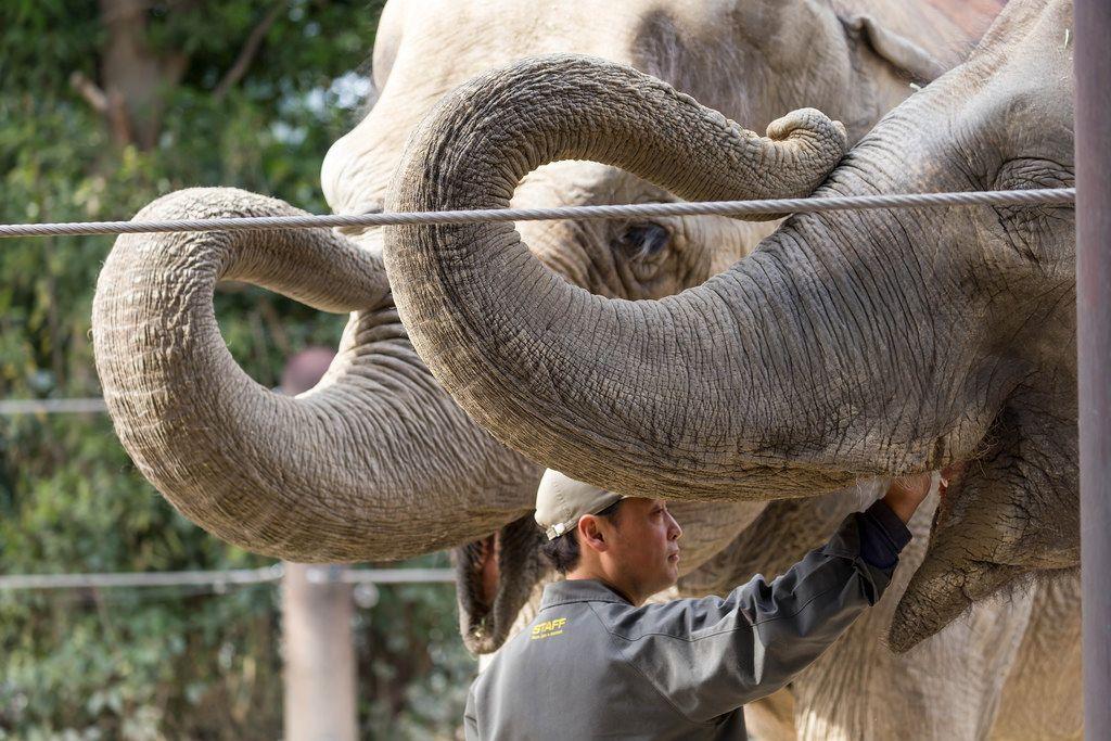 Elefanten mit Pfleger