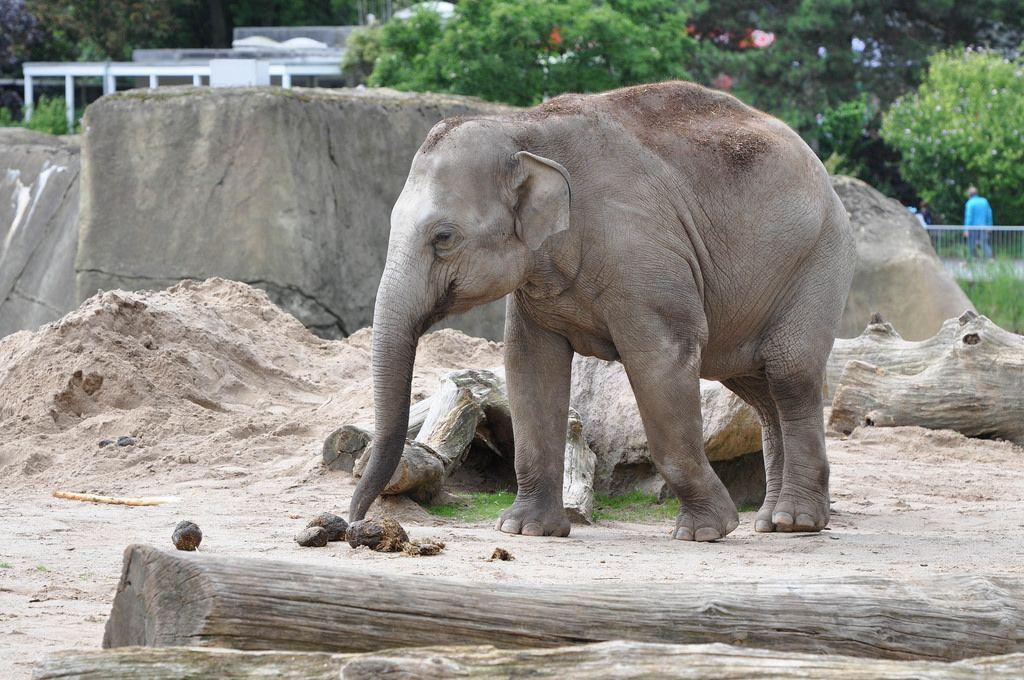 Elefantenkuh im Kölner Zoo