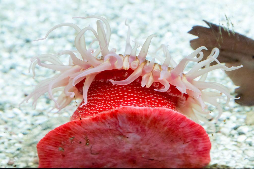 Erdbeeranemone (Actinia fragacea) im Shedd Aquarium