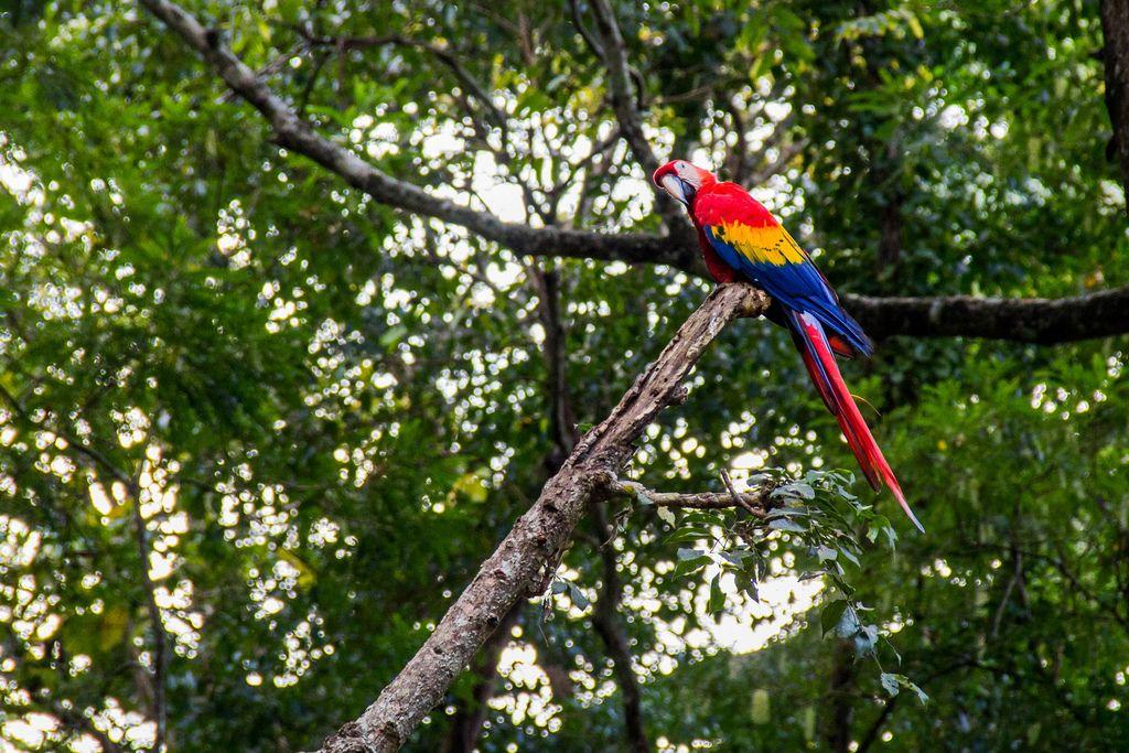 Farbenfroher Papagei der Art roter Ara sitzt auf Ast