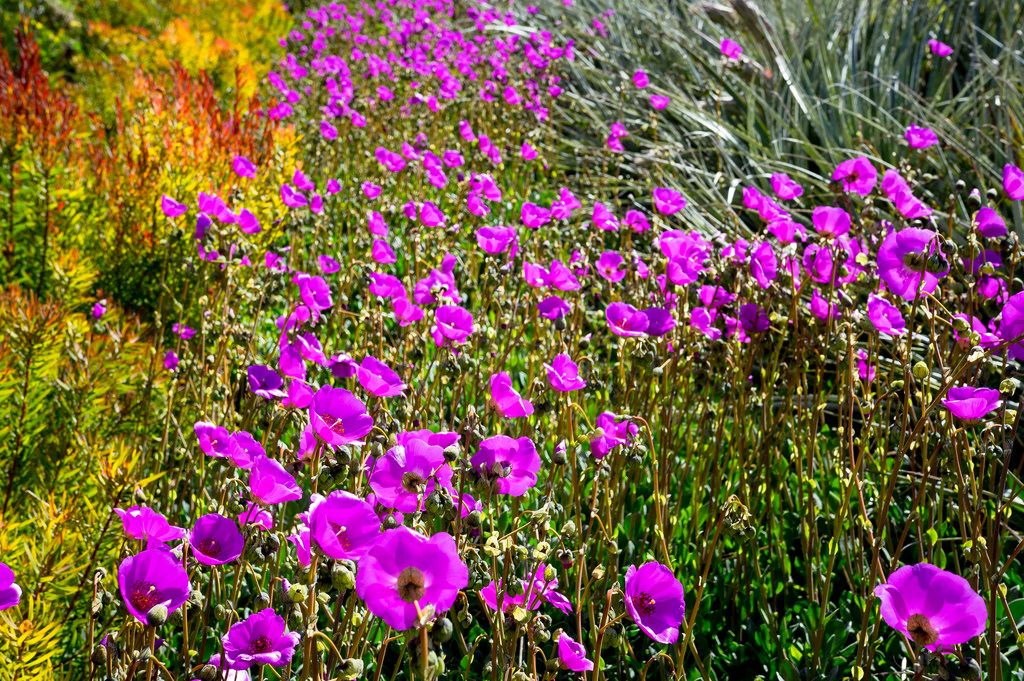 Field of purple flowers