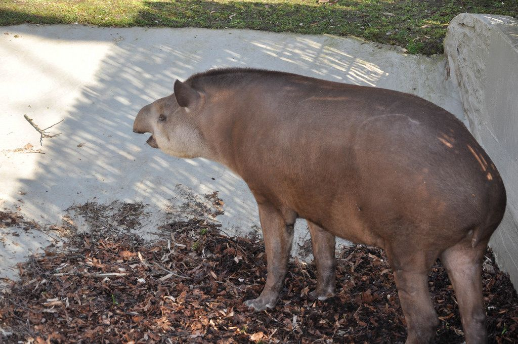 Flachlandtapir im Kölner Zoo
