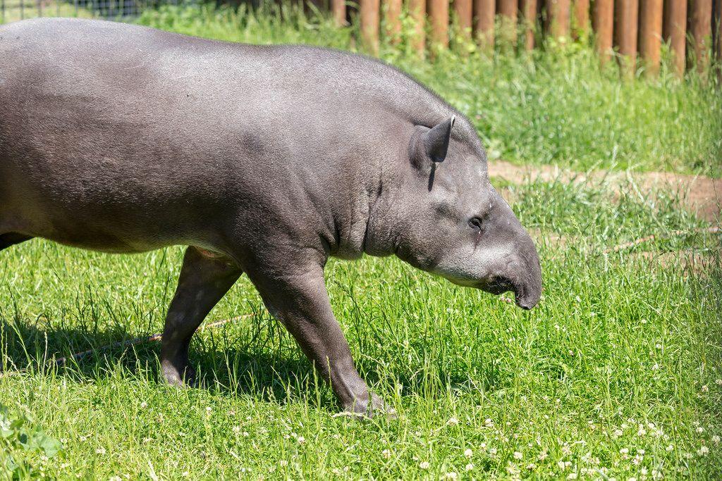 Flachlandtapir - Tapirus terrestris