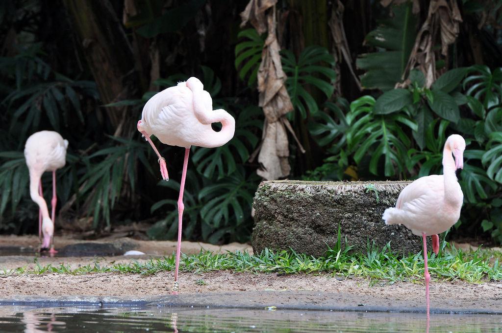 Flamingo-Africano im Vogelpark Parque das Aves