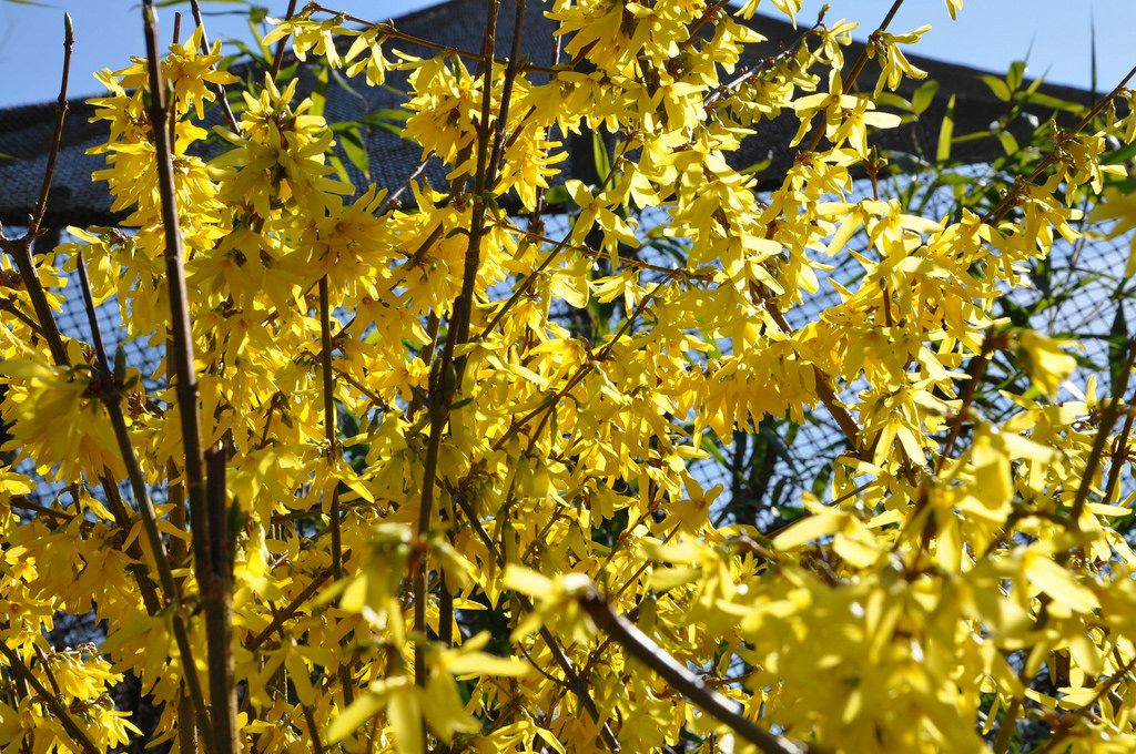 Flowering shrub with yellow flowers