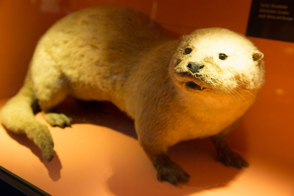 Flussotter / River Otter / Lutra Lutra