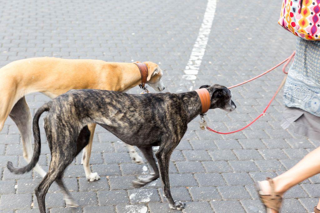 Frau führt Saluki-Hunde an der Leine