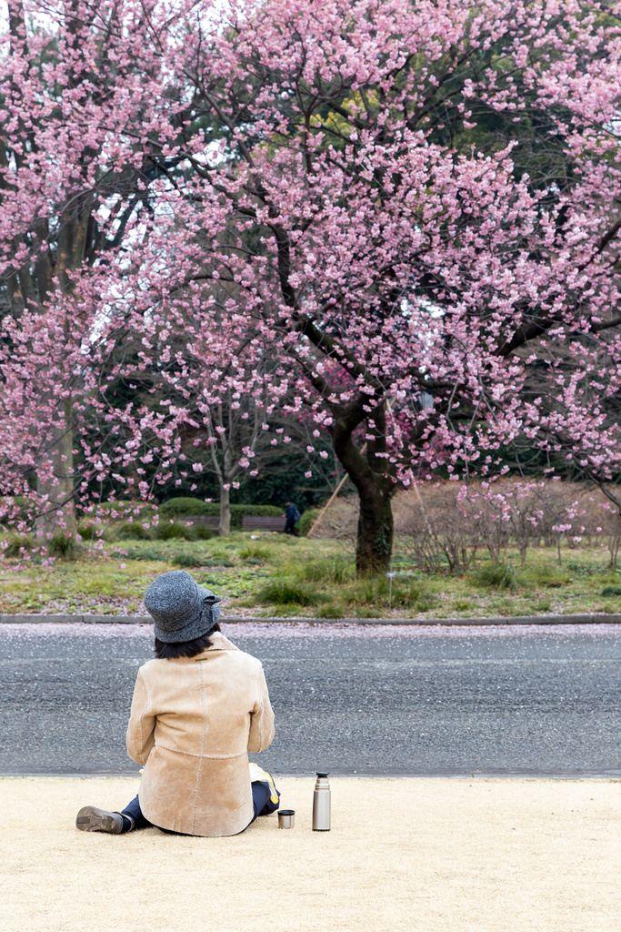 Frau schaut Kirschblütenbaum an im östlichen Kaisergarten Tokio