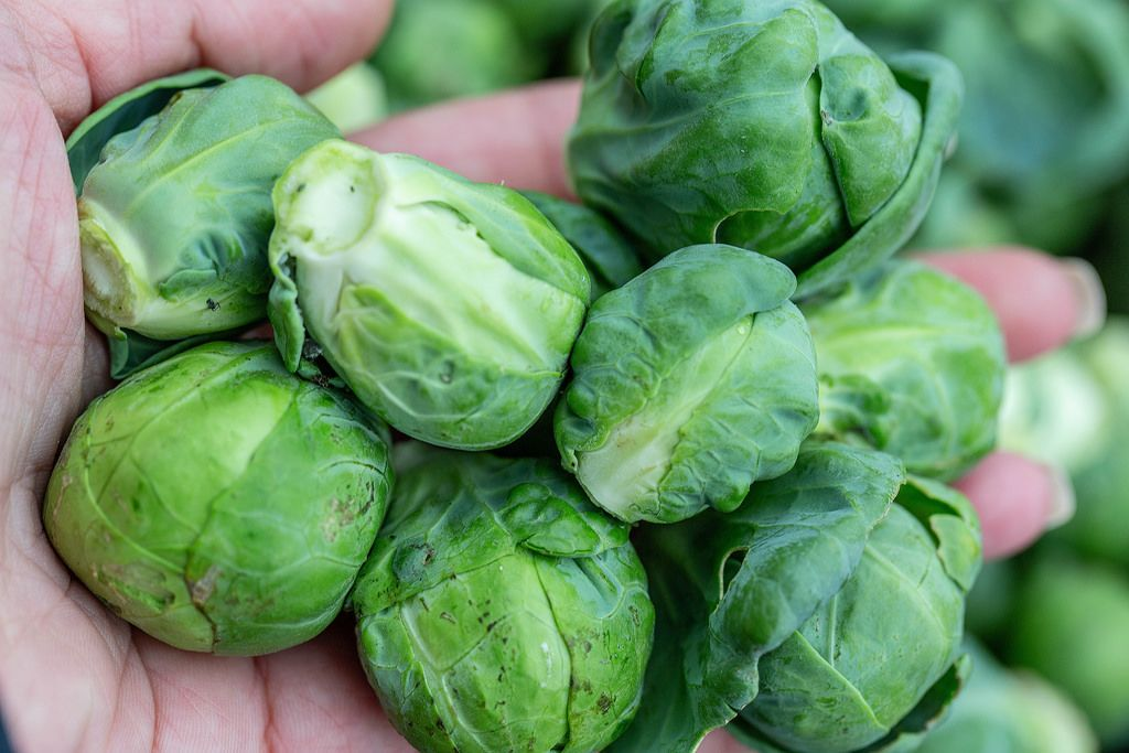 Fresh Brussels sprouts in hand