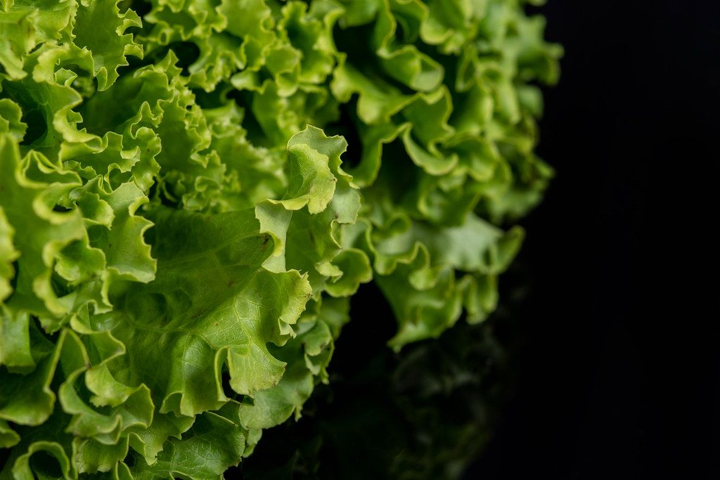 Fresh Green Lettuce Salad above black background