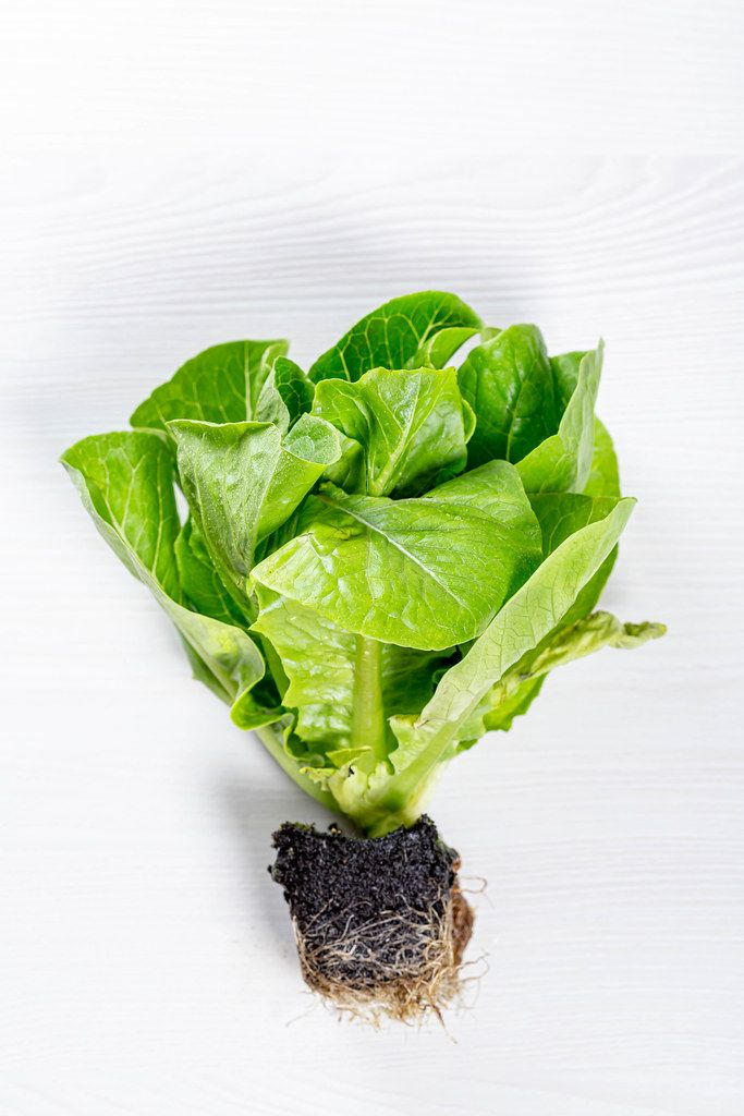 Fresh green Romaine lettuce Bush with roots on white background