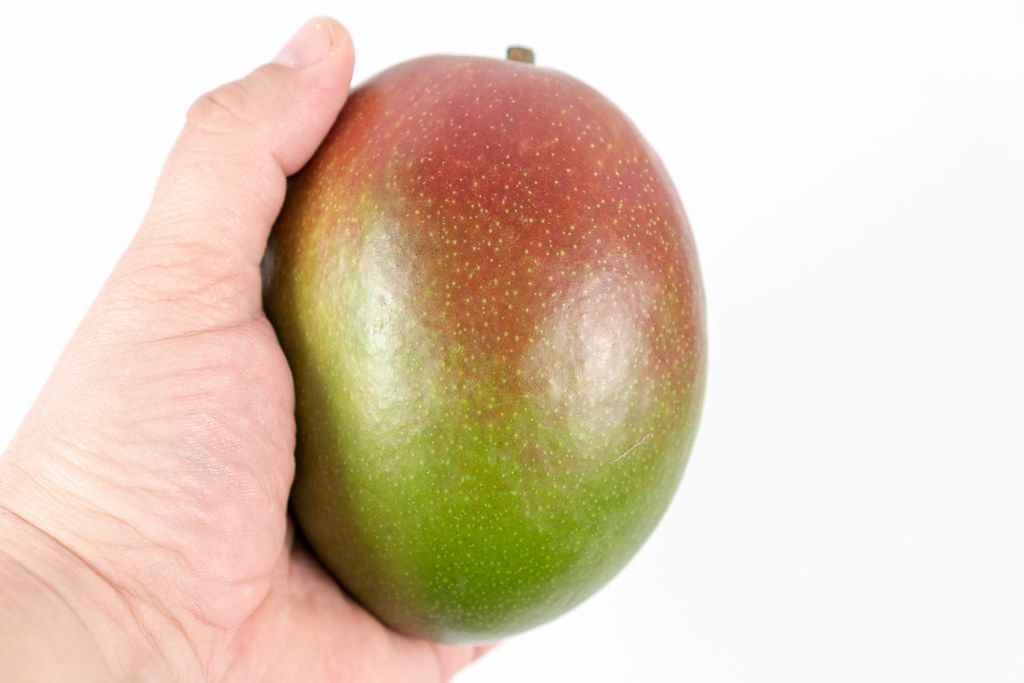 Fresh whole Mango fruit in the hand above white background