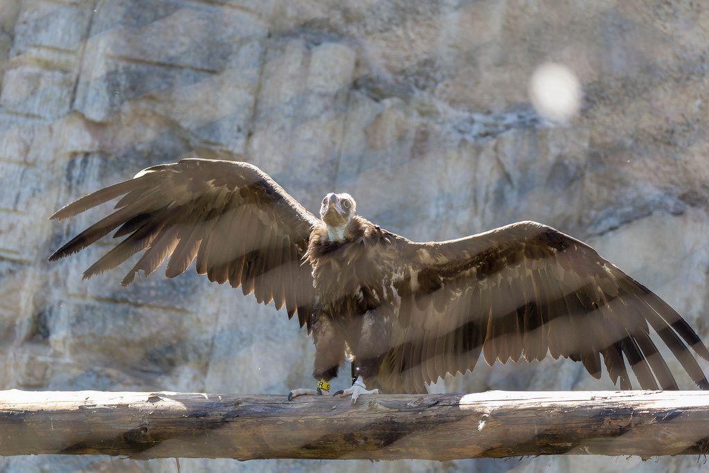 Gänsegeier im Moskauer Zoo