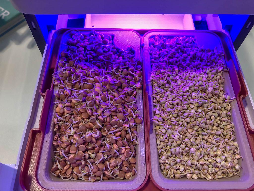 Gekeimte Mandeln und Erbsen unter UV Licht
