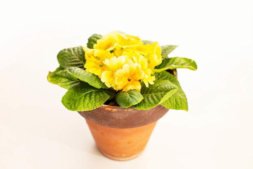 Gelbe Frühlingsblume Stiefmütterchen isoliert im Keramiktopf
