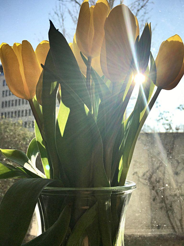 Gelbe Tulpen in der Sonne