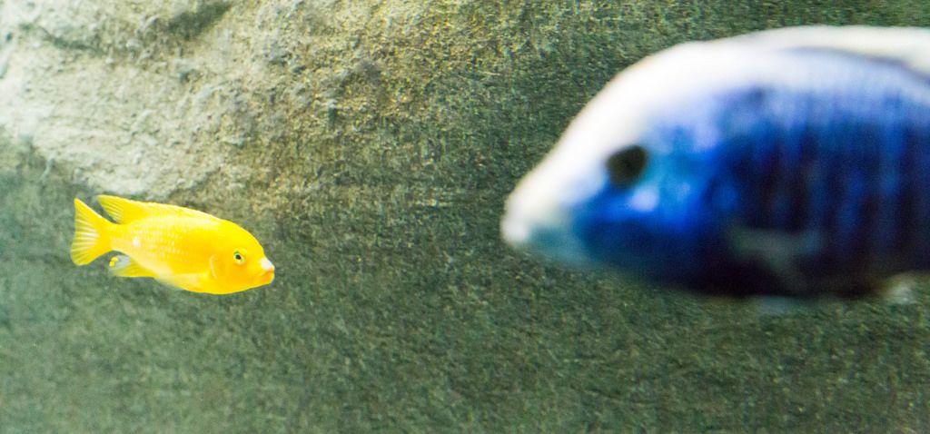 Gelber Zwergbuntbarsch (Labidochromis caeruleus) im Shedd Aquarium