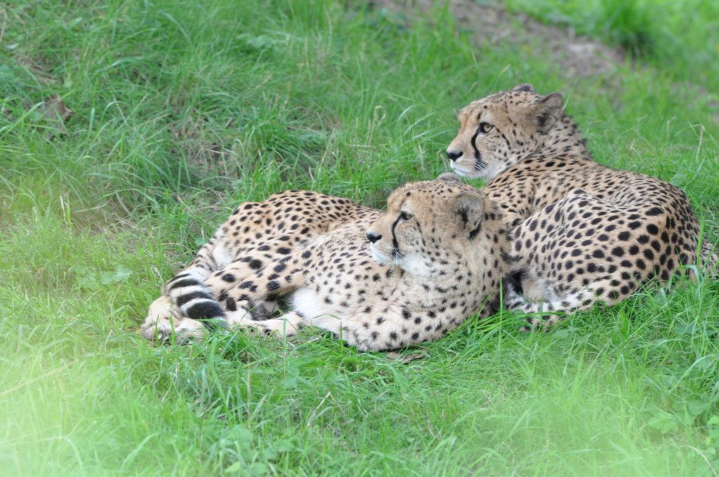 Geparden im Kölner Zoo