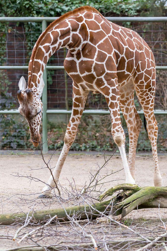 Giraffe während des Fressens