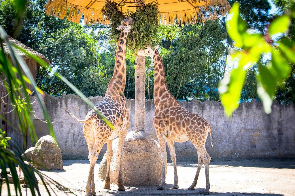 Giraffes eating in a zoo