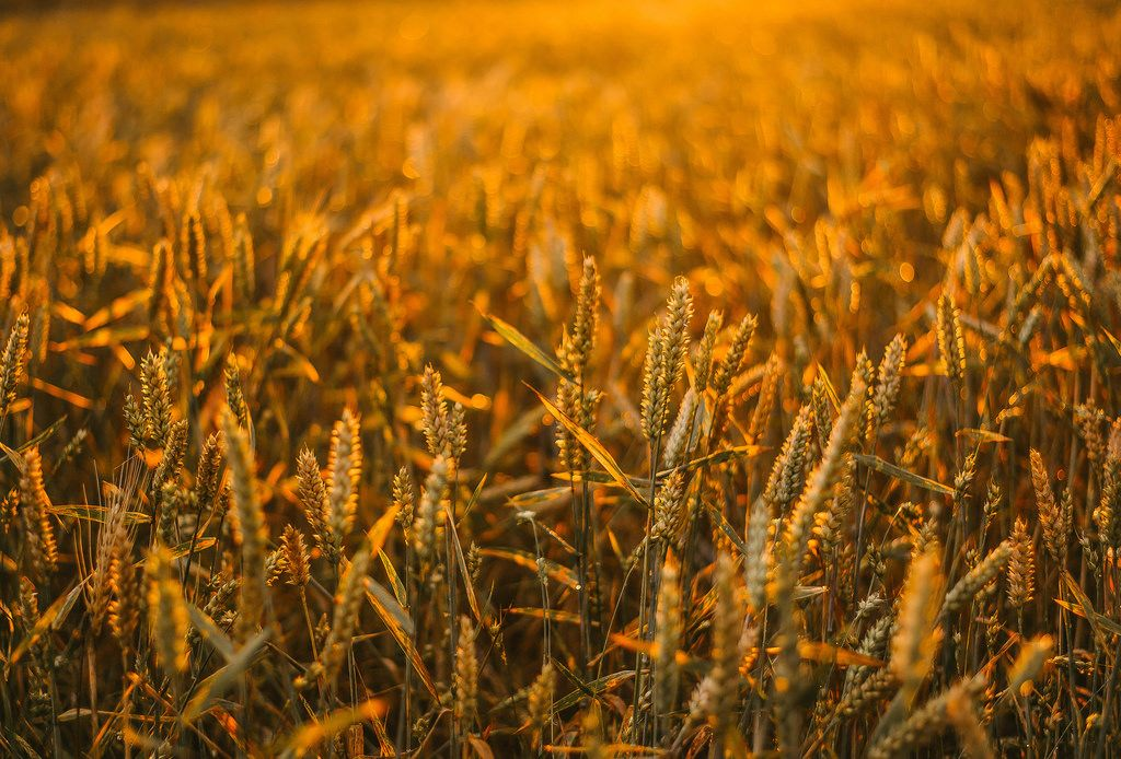 Golden Hour In Corn Field