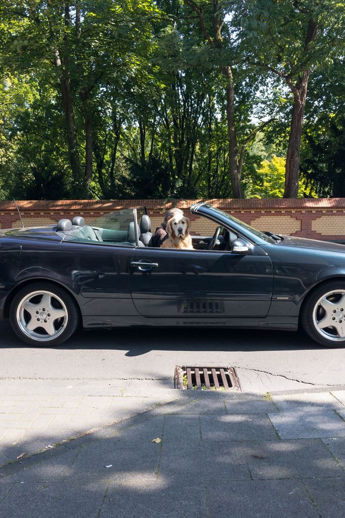 Golden Retriever as a front-seat passenger in a convertible