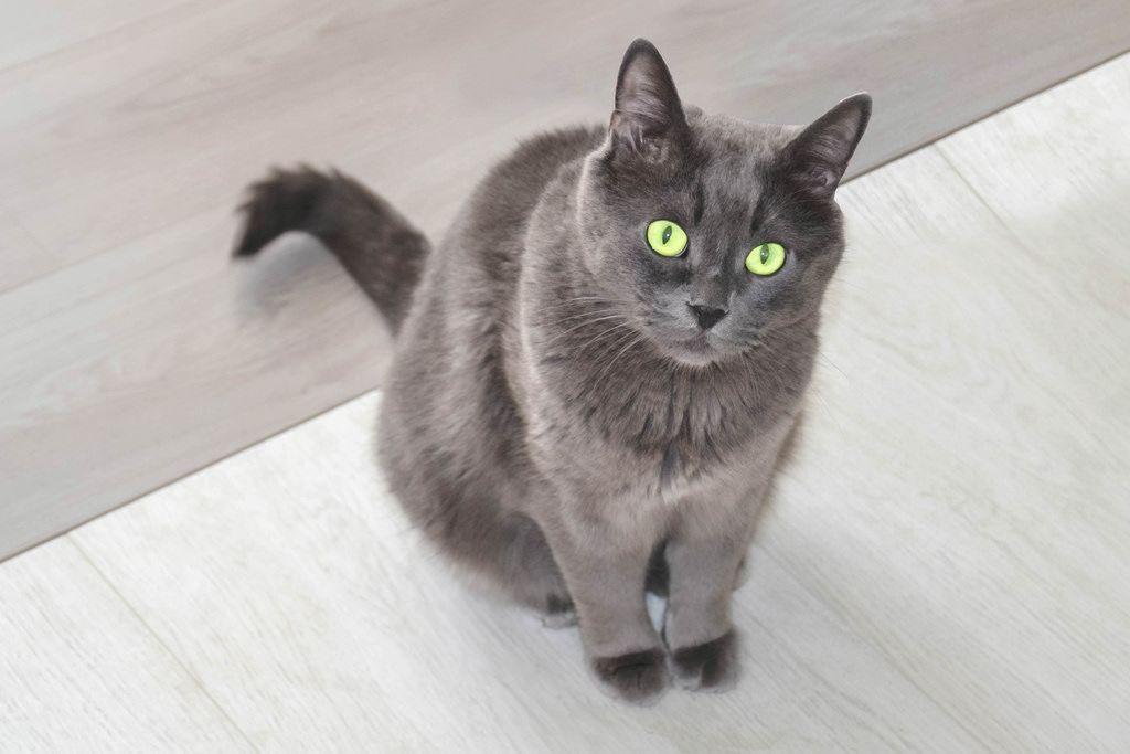 Graue Katze mit grünen AUgen