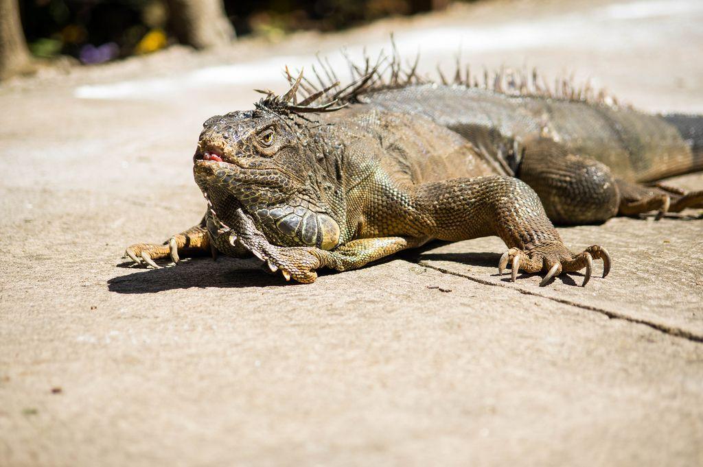 Green iguana on cement floor