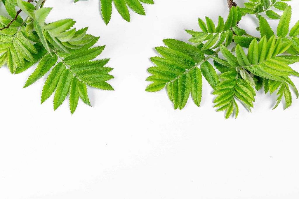 Green leaves on white. Spring background
