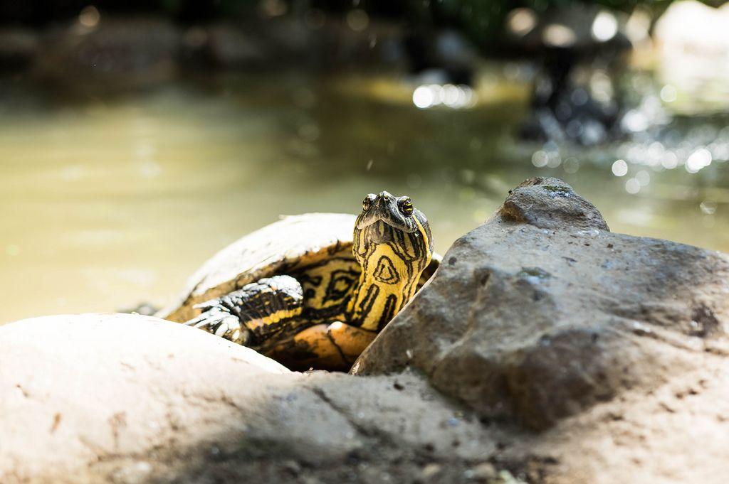 Green slider turtle