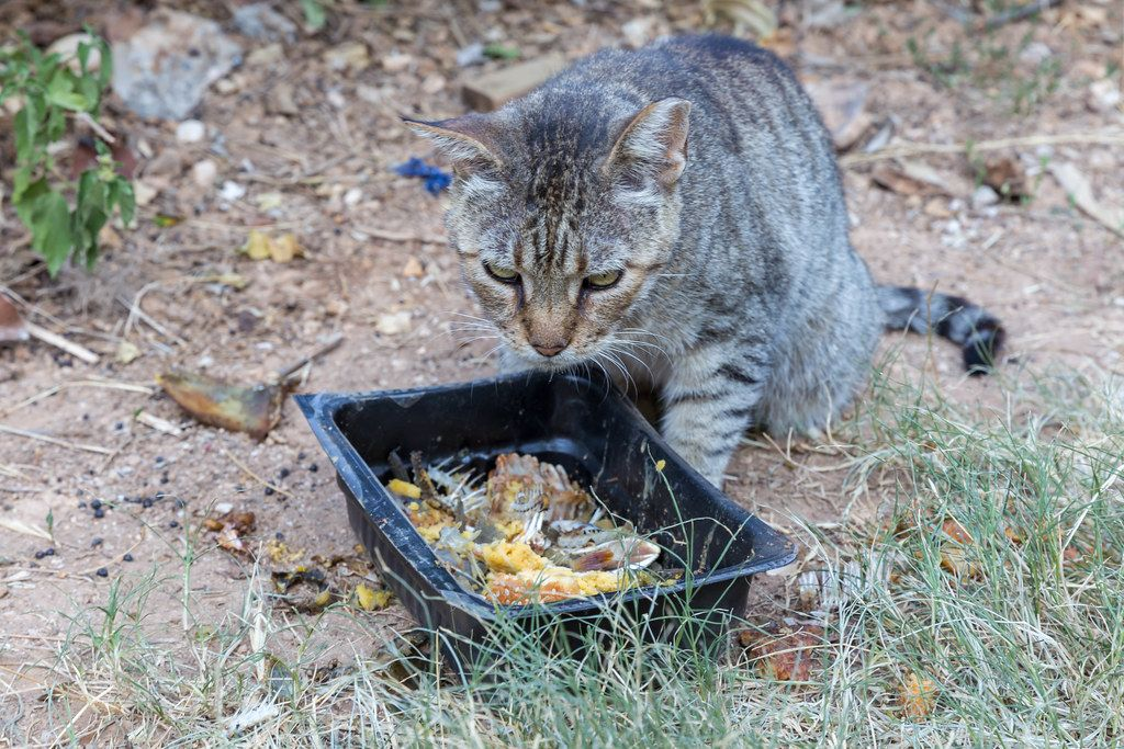 Grey stray cat eats leftovers out of a black plastic container at the roadside in Spetses, Greek