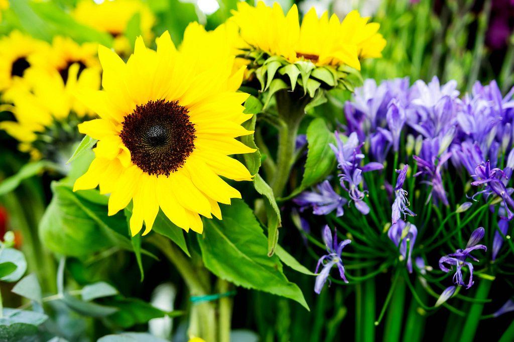 Große gelbe Sonnenblumen