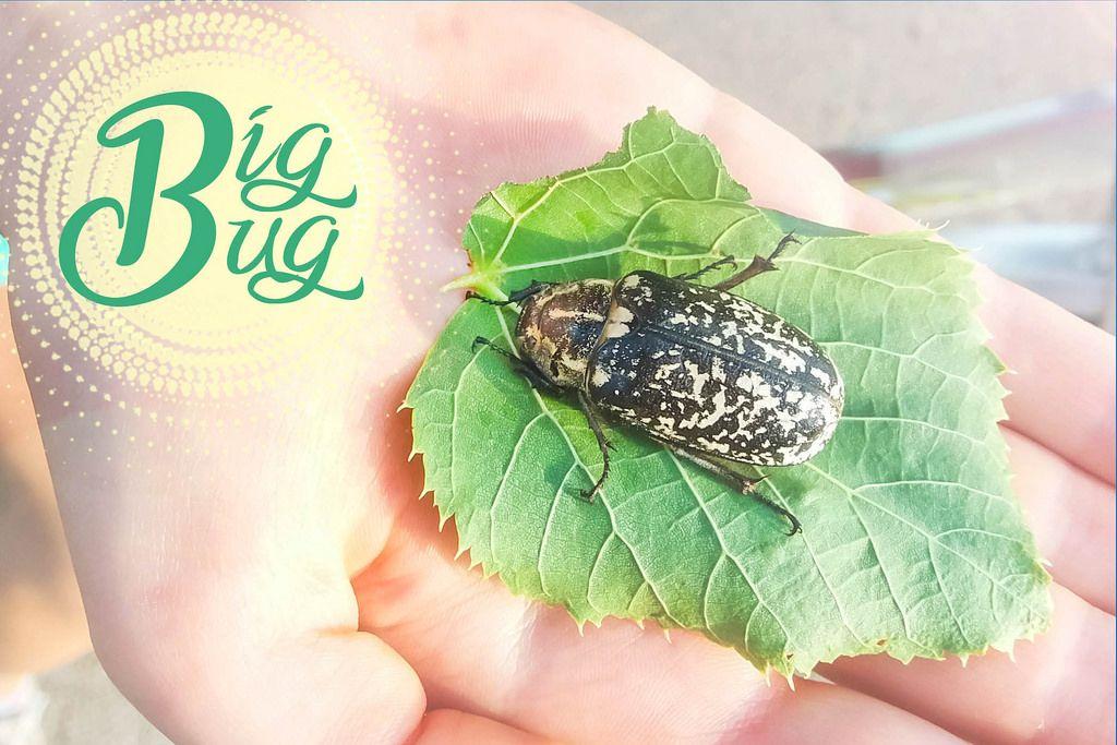 Große Käfer (Big Bug)